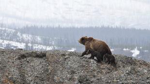 """""""Gdy wyczują strach, potrafią być bezwzględne"""". Jak przetrwać spotkanie z niedźwiedziem"""