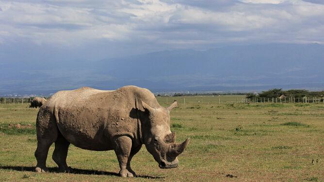 Chcą uratować nosorożce białe północne. Naukowcy pobrali materiał genetyczny