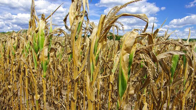 1,5 miliarda złotych dla rolników poszkodowanych przez suszę. Wnioski od 14 września